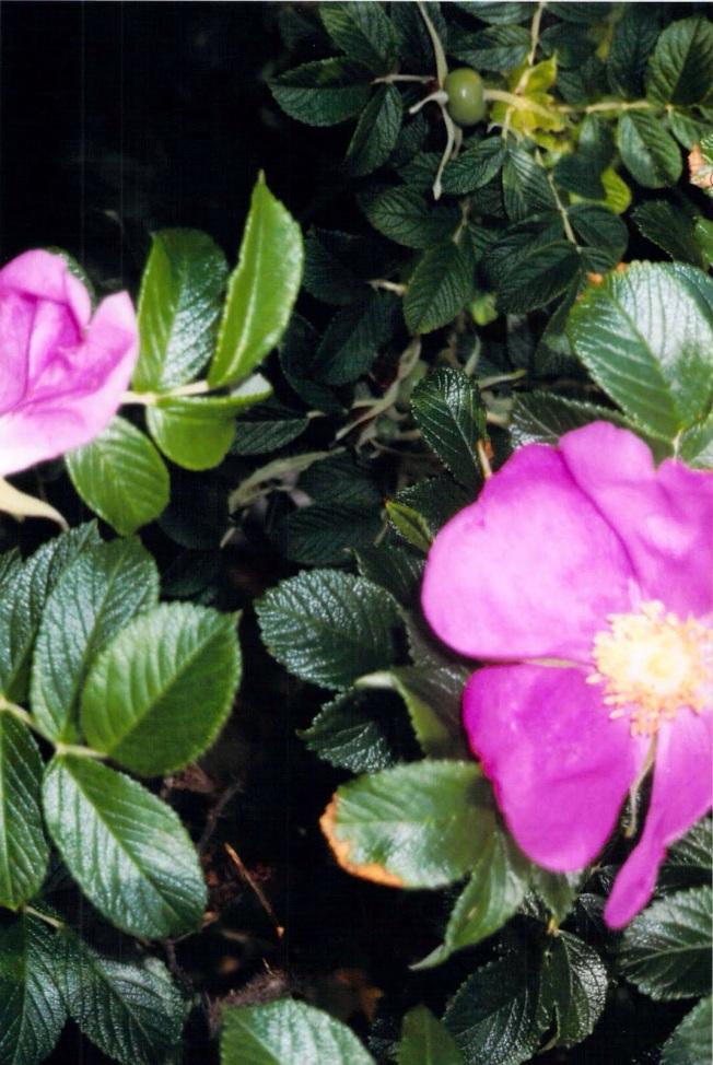rosa-ragosa