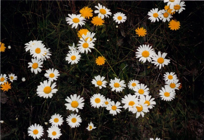 yellow-white-dasies